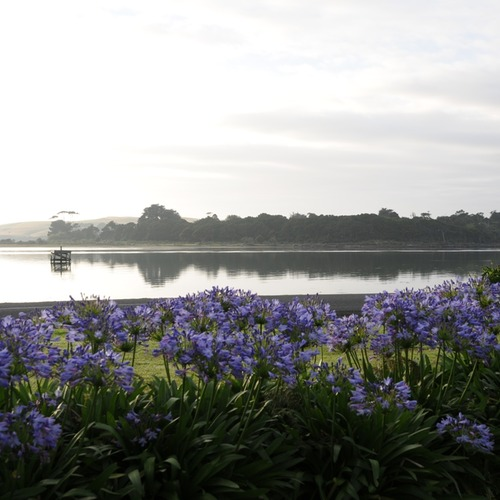 View over agapanthus flowers